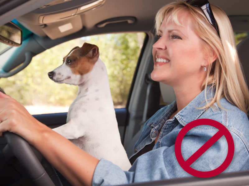 Don't let your dog sit on your lap while you're driving